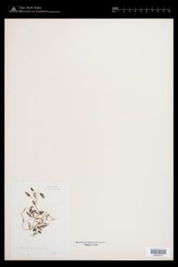 Halophila ovalis image