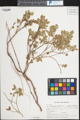 Vaccinium myrtillus image