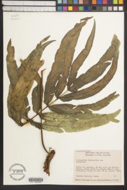 Image of Polypodium triseriale