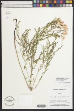Rhaponticum repens image