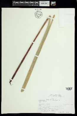 Eleocharis interstincta image