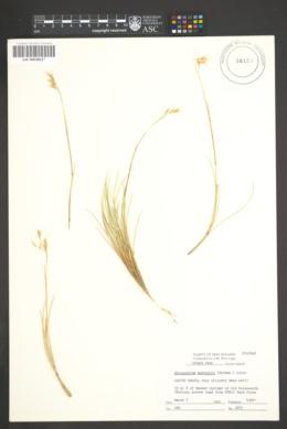 Image of Chionochloa australis