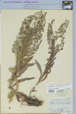 Cynoglossum officinale image