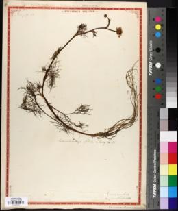 Image of Ranunculus multifidus