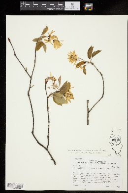 Image of Amelanchier x grandiflora