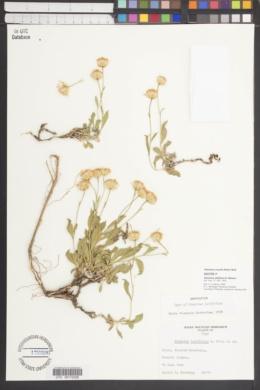 Stenotus latifolius image