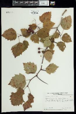 Image of Crataegus coccineae