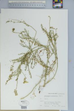 Astragalus egglestonii image