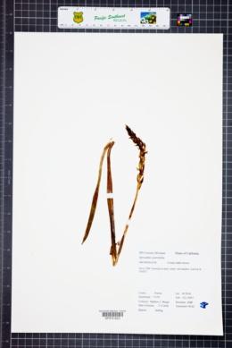 Image of Spiranthes porrifolia