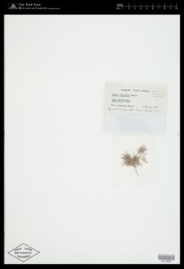 Arthrocardia palmata image