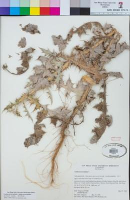 Carduus pycnocephalus image