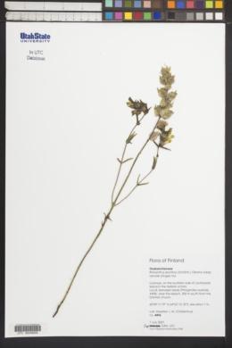 Image of Rhinanthus glaber