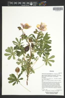 Amoreuxia palmatifida image