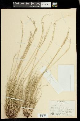 Image of Festuca orthophylla