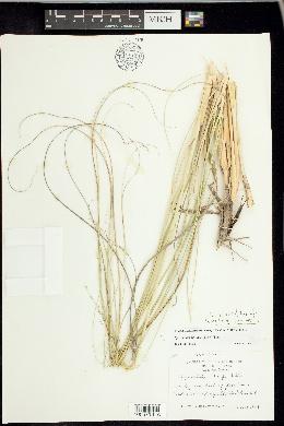 Image of Sporobolus tharpii