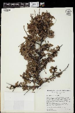 Calliandra californica image