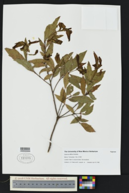 Image of Quercus affinis