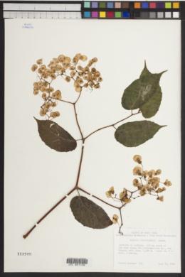 Image of Begonia carpinifolia