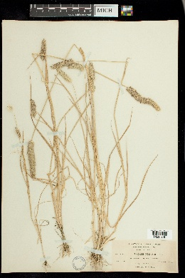 Phalaris lemmonii image