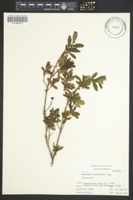 Elliottia pyroliflora image