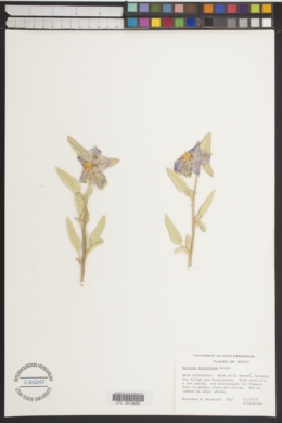 Solanum furcatum image