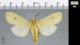 Pyrrharctia isabella image