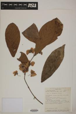 Image of Hiraea fagifolia
