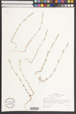 Image of Crucianella angustifolia
