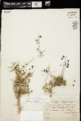 Psorothamnus arborescens image