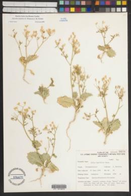 Aliciella latifolia image