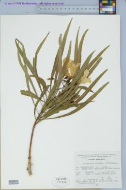 Image of Astianthus viminalis