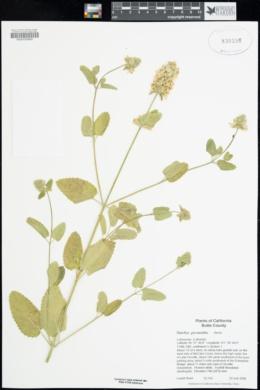 Stachys pycnantha image