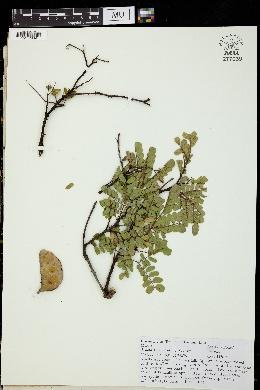 Image of Acacia anisophylla