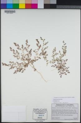 Euphorbia micromera image
