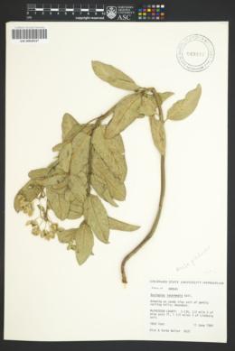 Asclepias intermedia image