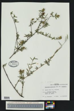 Fendlera wrightii image