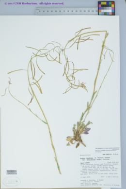 Image of Boechera spatifolia