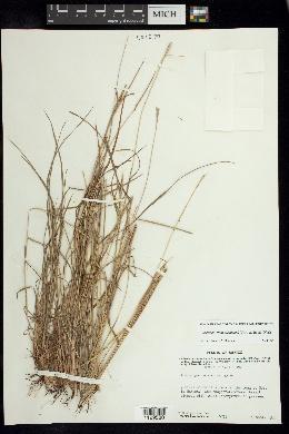 Image of Schizachyrium salzmannii