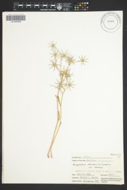 Image of Rhagadiolus stellatus