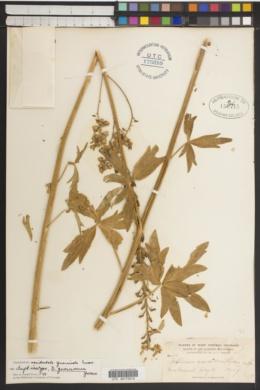 Delphinium occidentale image