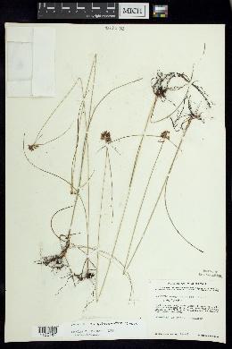 Image of Cyperus sanguineo-ater
