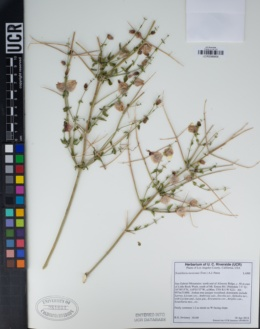 Scutellaria mexicana image