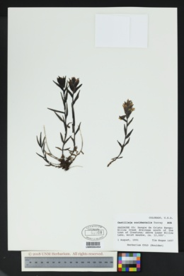 Castilleja occidentalis image