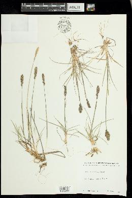 Image of Koeleria asiatica