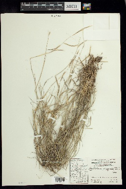 Bouteloua eriopoda image