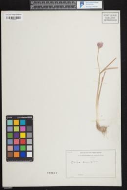 Image of Allium brevistylum