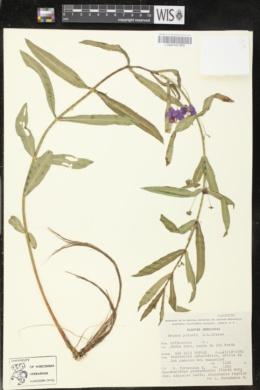 Image of Ammannia palmeri