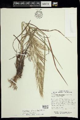 Muhlenbergia stricta image