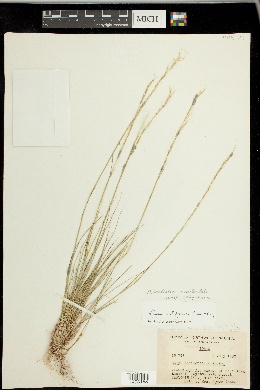 Achnatherum occidentale subsp. californicum image