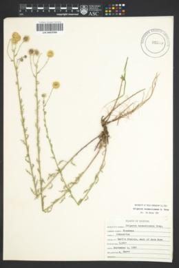 Erigeron neomexicanus image